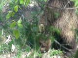 rencontre ours pyrénées